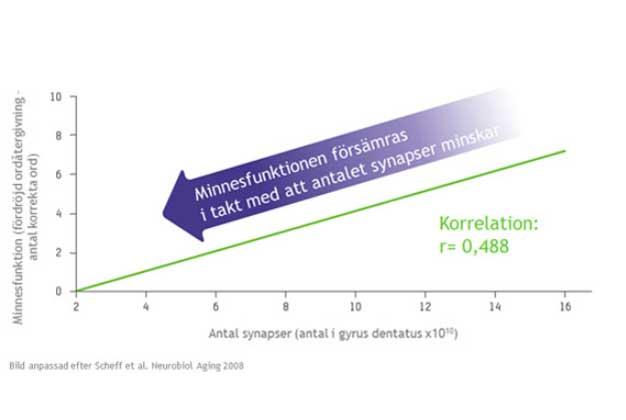 Korrelation mellan antalet synapser och minnets funktion (3)